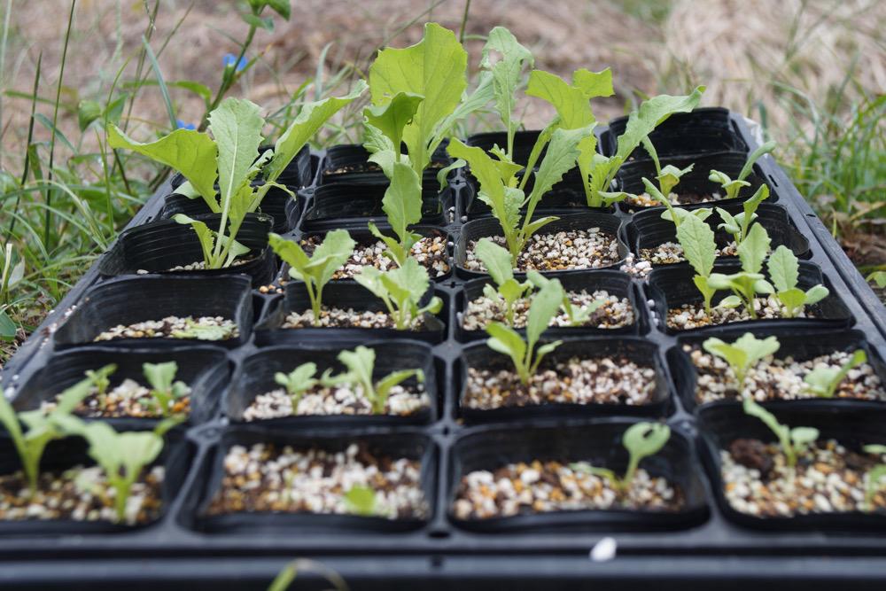 タケノコ白菜の苗
