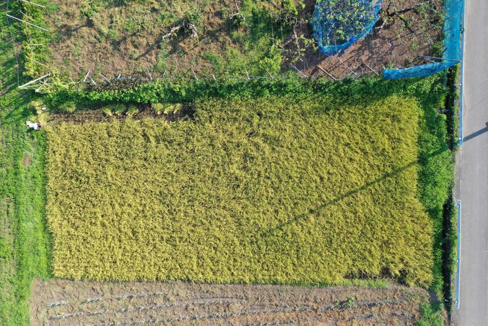 房総オルタナティブライスフィールド 初めての稲刈りDAY1 と 秋じゃがいもの植え付け