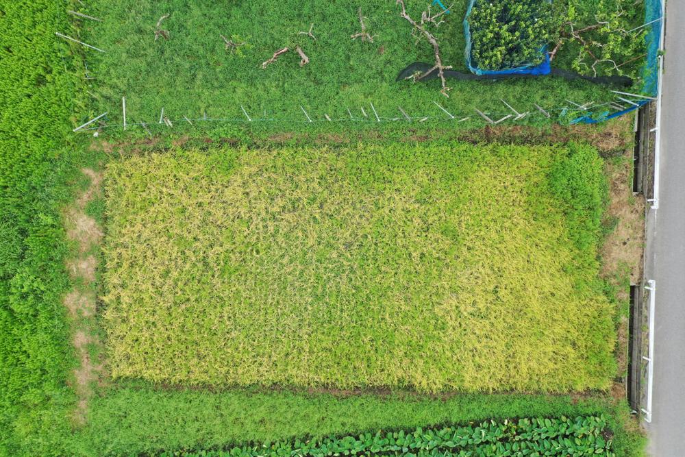 房総オルタナティブライスフィールド 2021年稲刈り始まる
