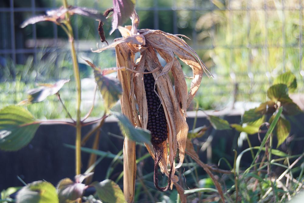 房総オルタナティブガーデン 初秋の気配 野良仕事 ポップコーン収穫
