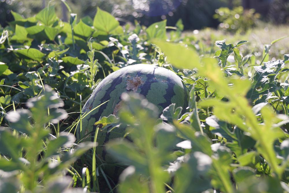 房総オルタナティブガーデン 初秋の気配 野良仕事 スイカ収穫