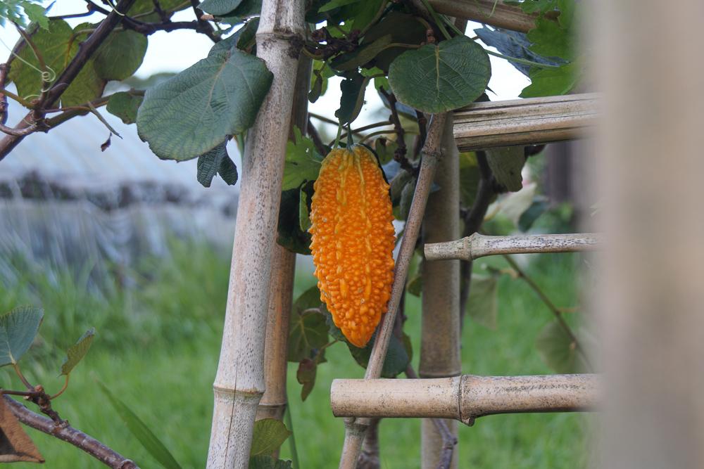 ゴーヤの採種 ゴーヤオレンジ色に色づく