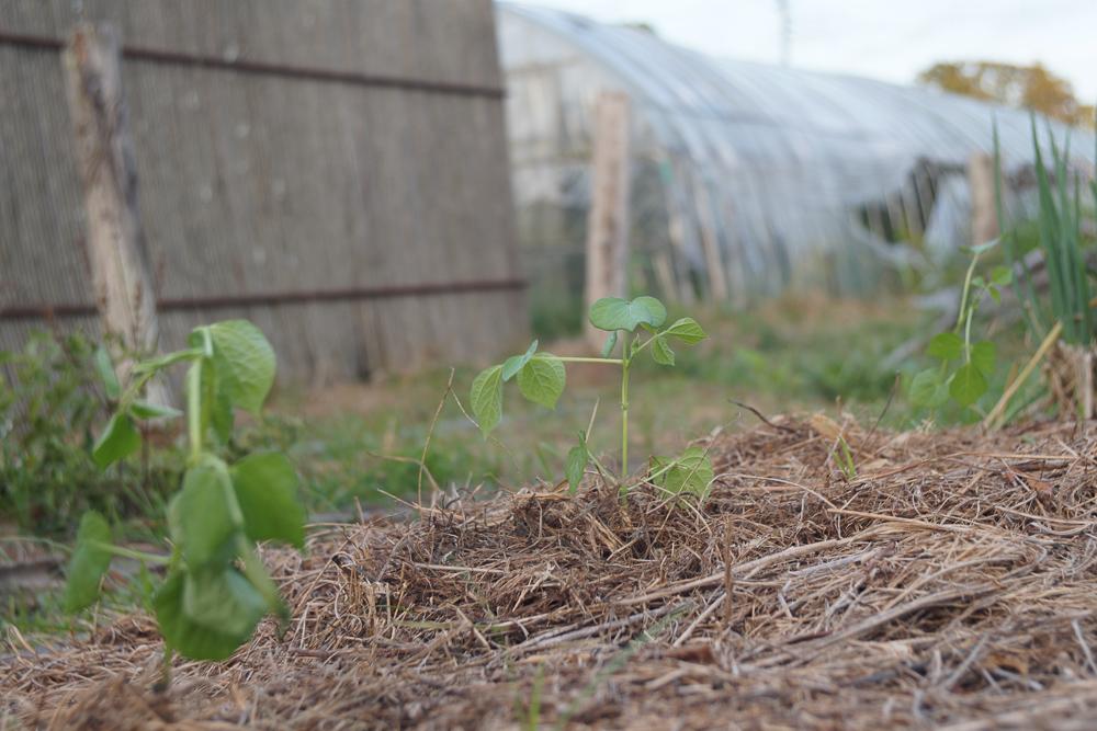 房総オルタナティブガーデン 初秋の気配 野良仕事 あずきの苗定植