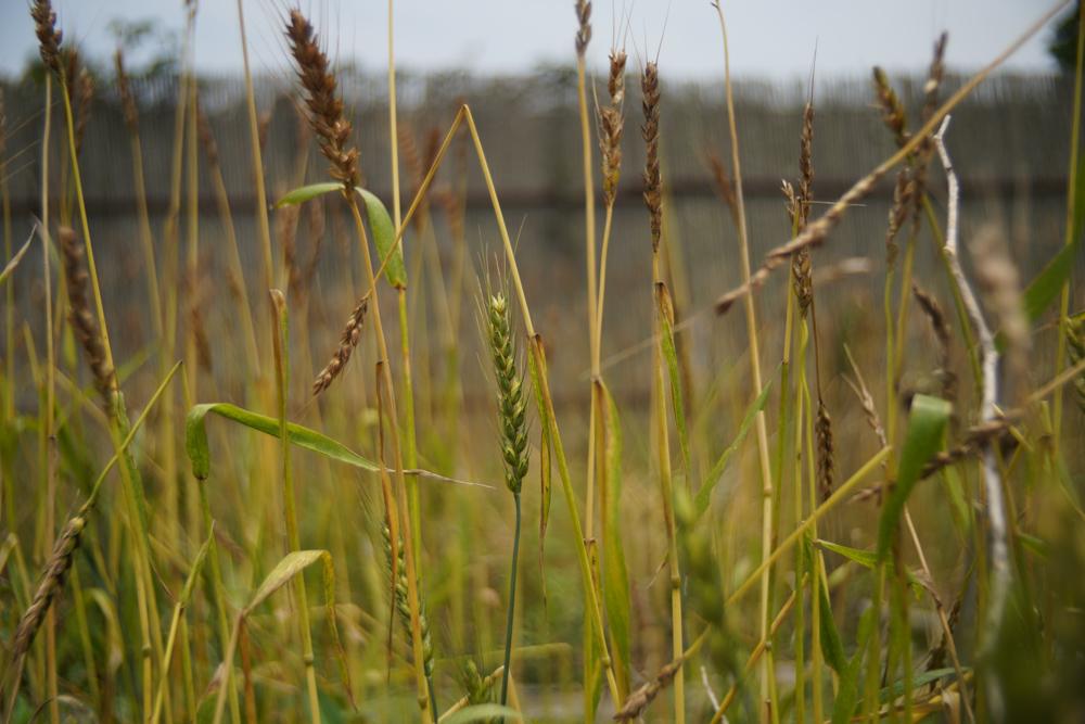 小麦の収穫2021 DAY1 身体のコンディションがモチベーションとパフォーマンスに影響を与える