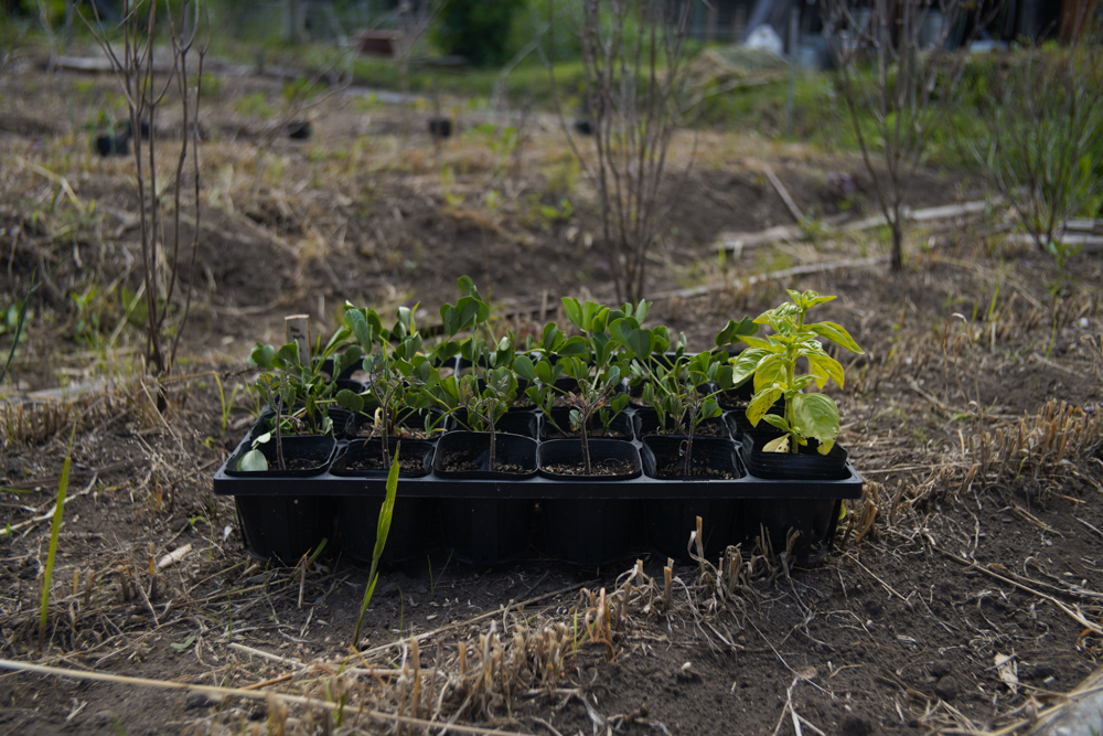 房総フィールドで疲れた身体をトリート、にんじんの花、夏の畑をイメージして育苗してきた苗を定植 イタリアントマト サンマルツァーノ・バジル・早生黒茄子・ピーナッツ・スイカ