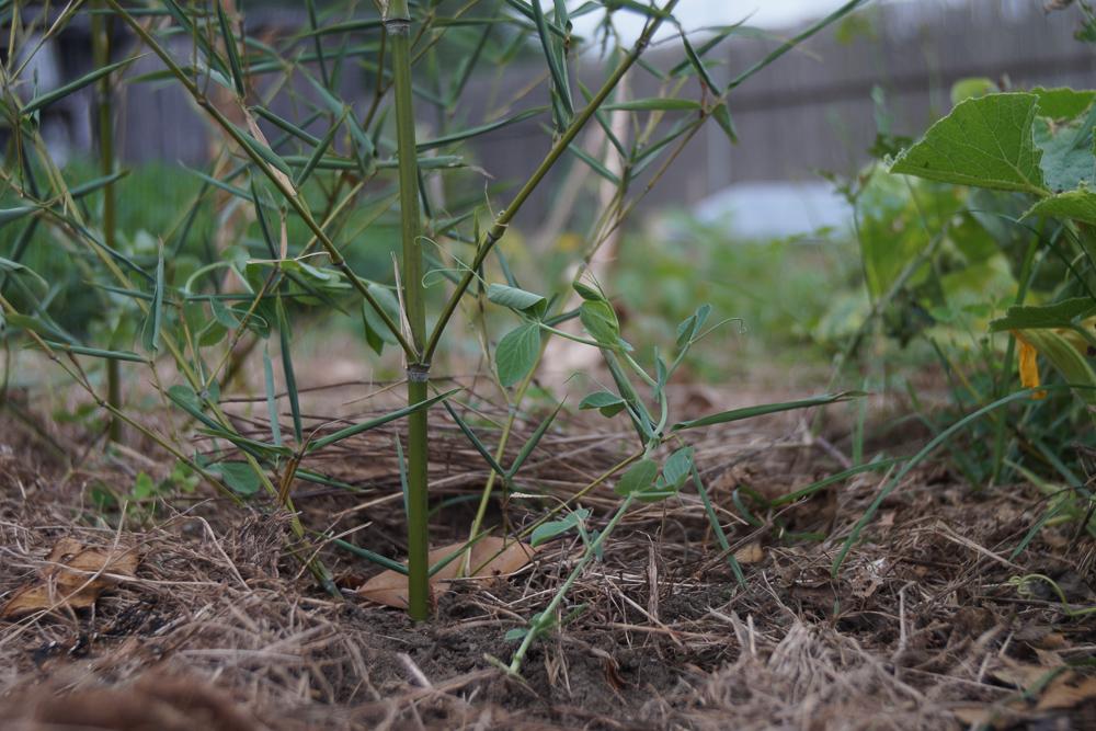 房総フィールドガーデン 秋の種下ろし グリーンピース定植