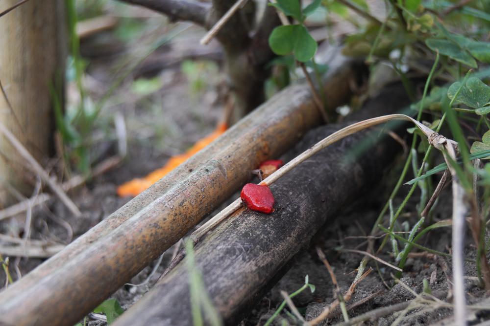 ゴーヤの採種 赤い実