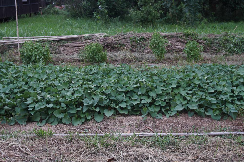 房総フィールドガーデン 秋の種下ろし さつま芋畑