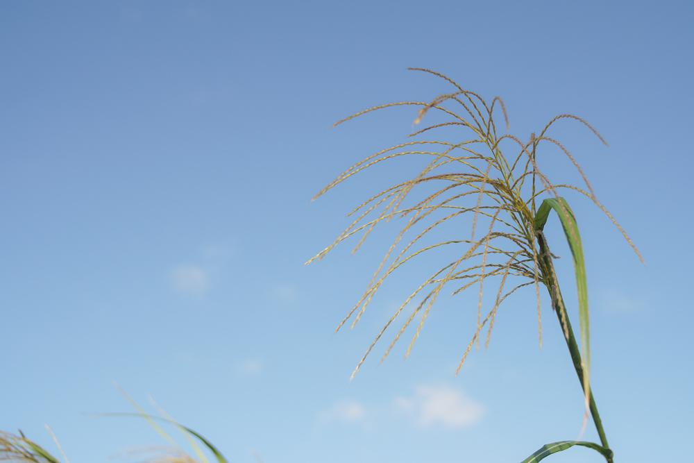 秋分の日 ススキの穂