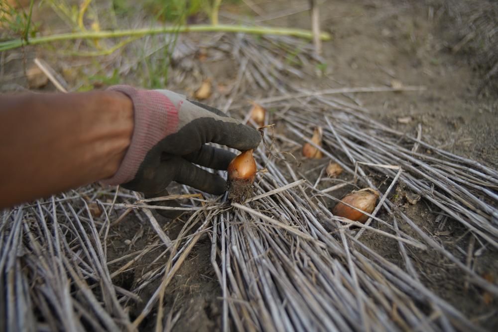 ミニにんにくとミニミニ玉ねぎを育て上げ、キウイが初めて実をつける