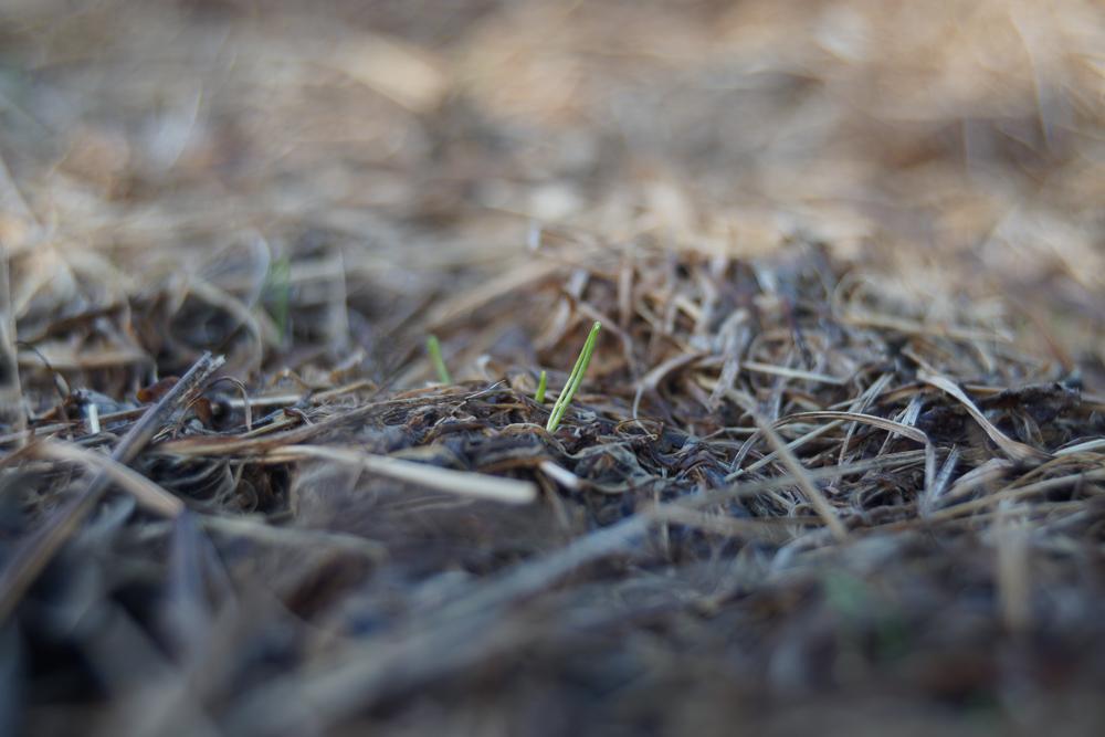 秋分の日 玉ねぎの芽