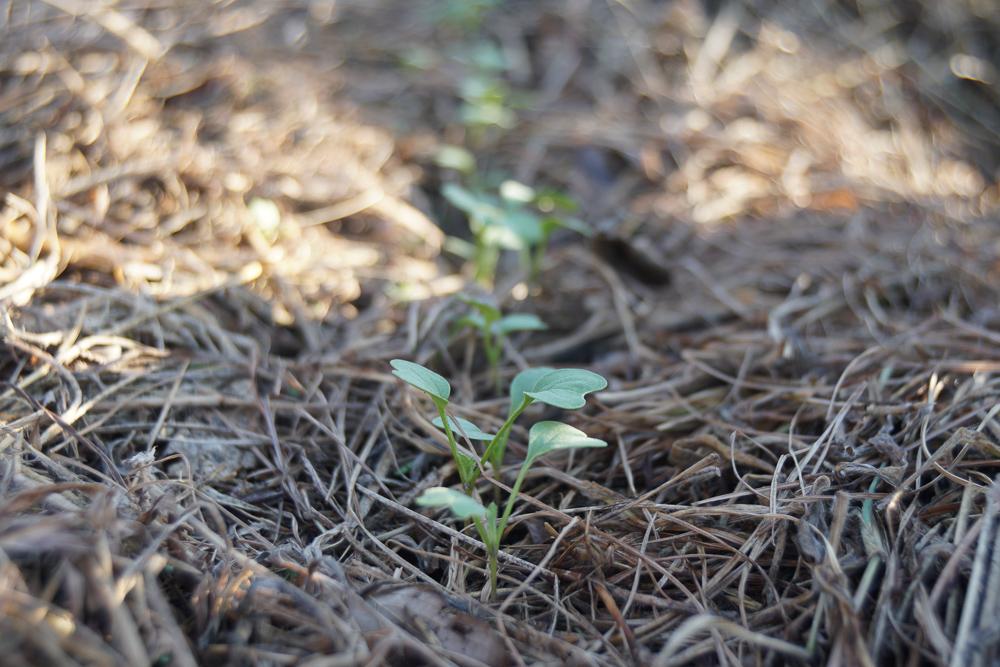 秋分の日 黒丸大根の芽