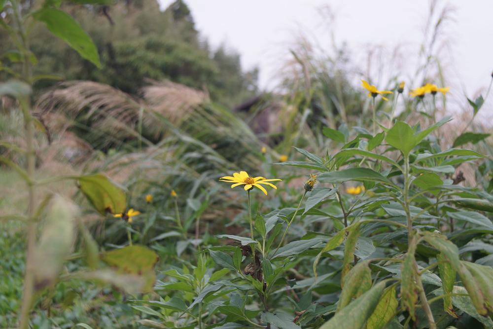 キクイモの花とススキ
