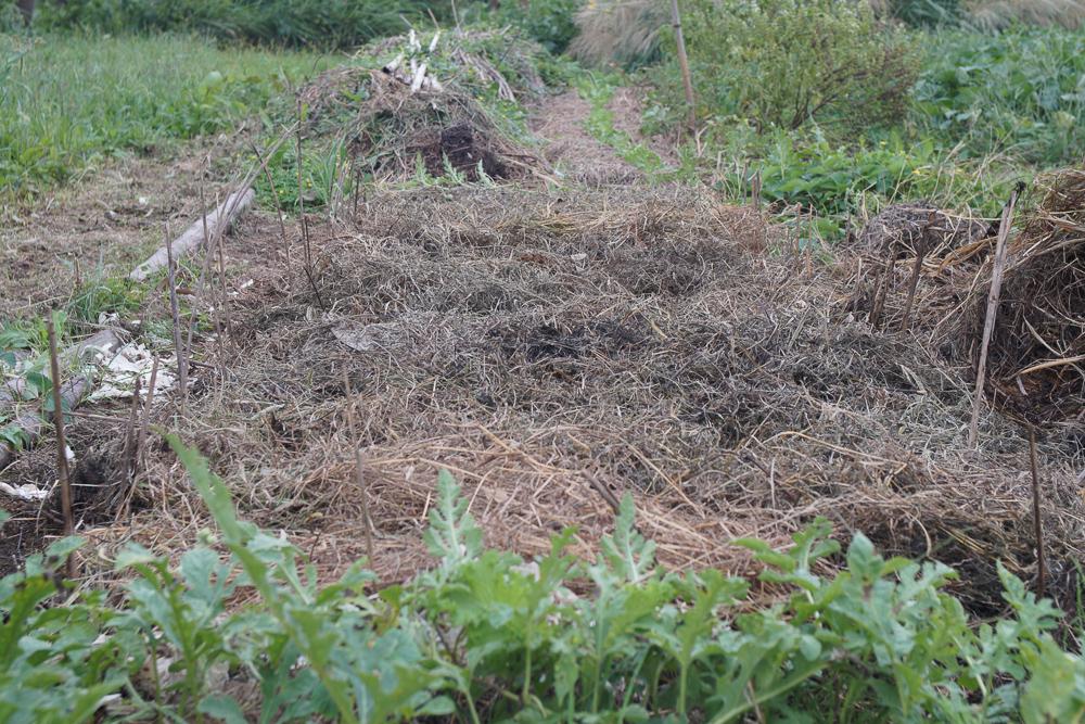 房総オーガニックガーデン 2019年にんにくの植え付け 雑草を重ねる