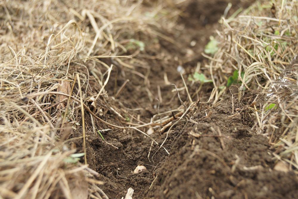 にんにくの花芽についた実を植えてみる