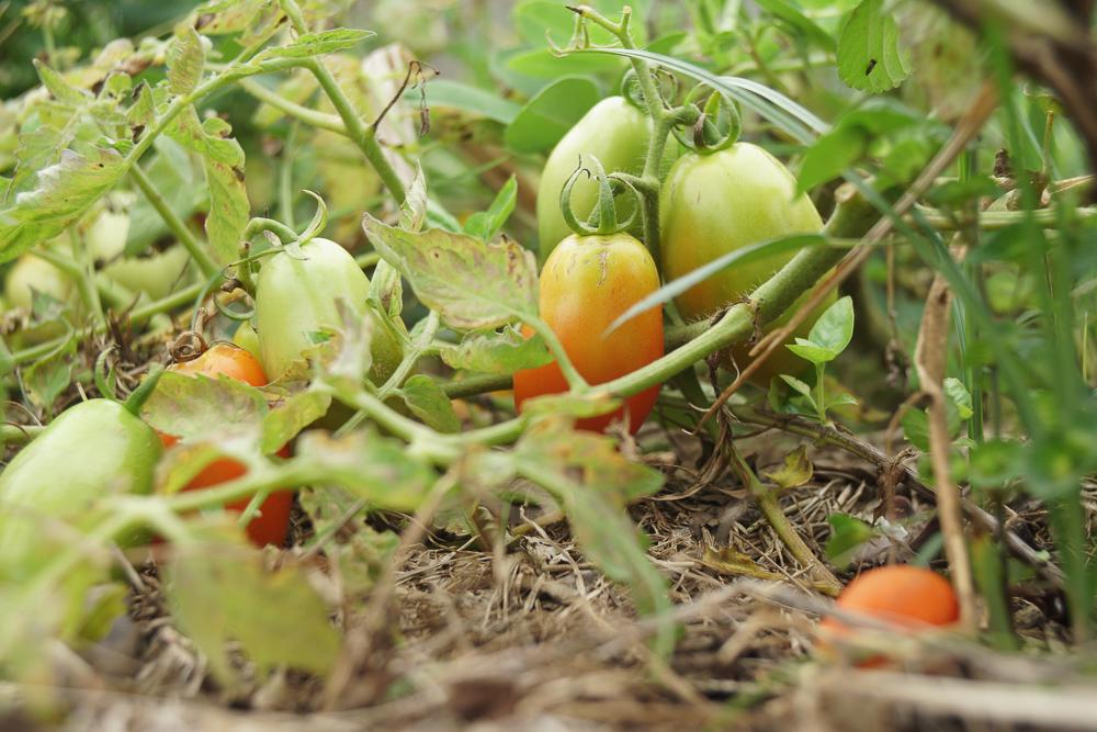 急に勢いづくトマト