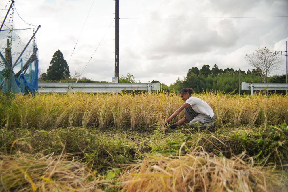 Rice is Gold 房総オルタナティブライスフィールド 2021年稲刈りDAY9