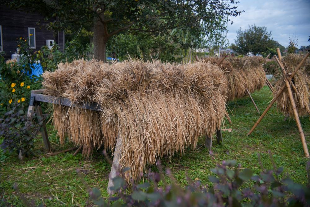 房総オルタナティブ米 脱穀始まる 2021年脱穀 DAY1
