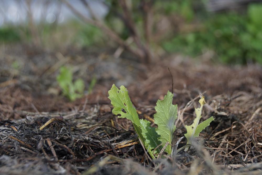 タケノコ白菜定植