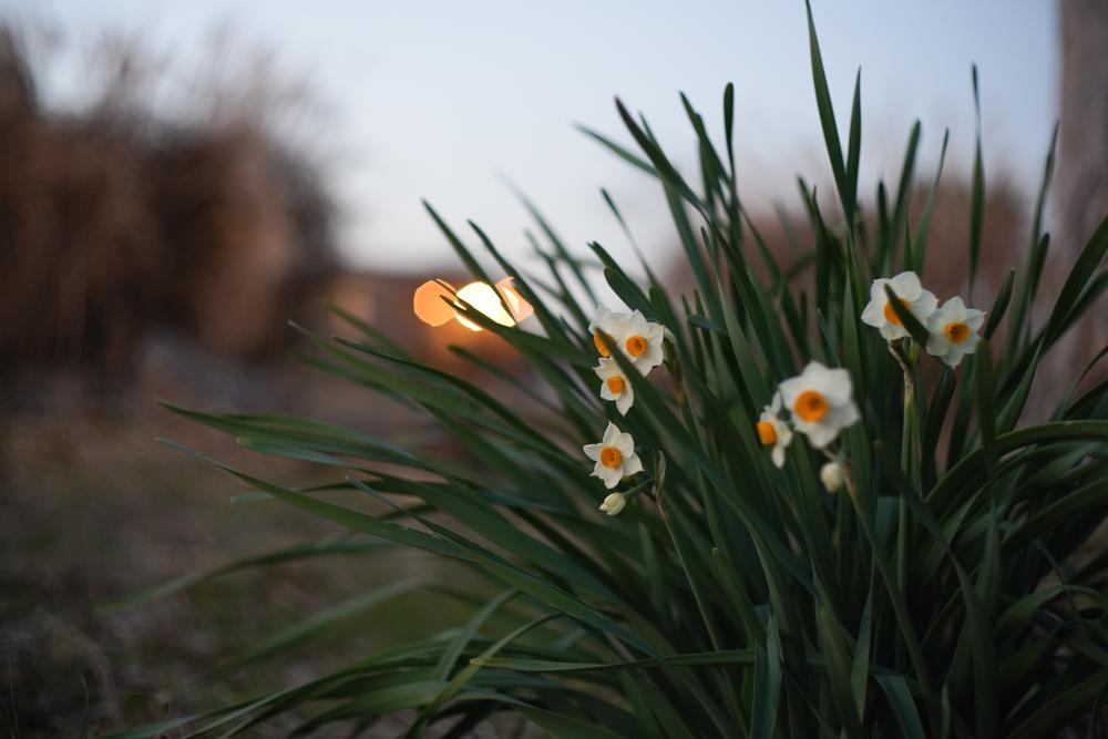 房総フィールド 水仙が咲く