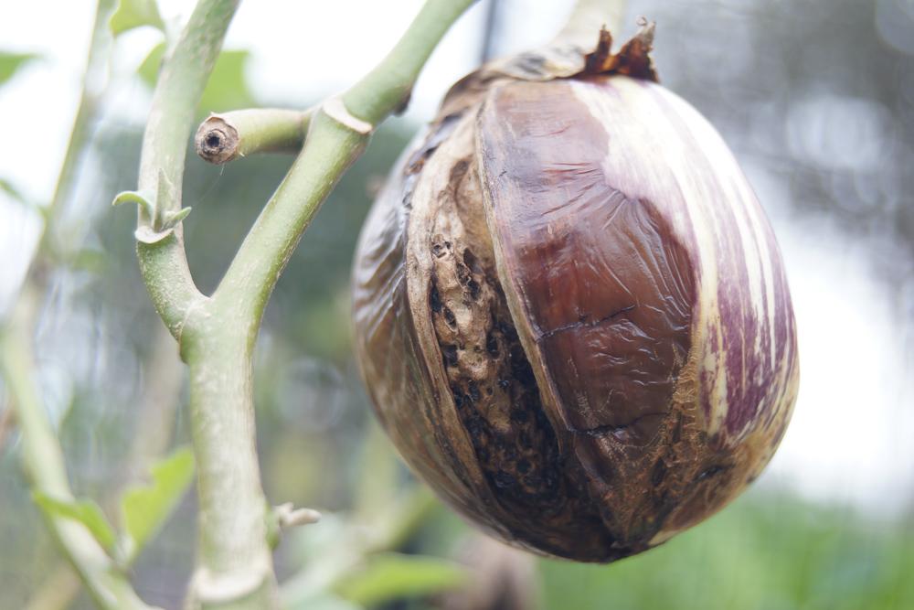 リスターダデガンジア ナスの採種