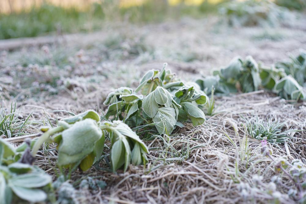 房総フィールドガーデン 冬のそら豆