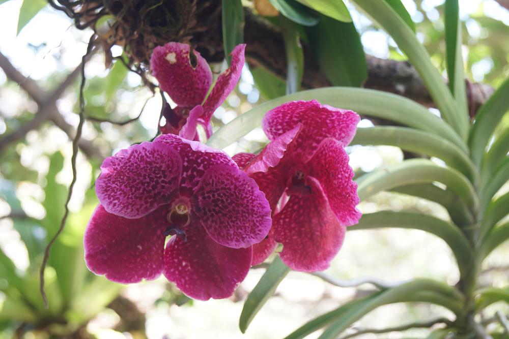 沖縄 ビオスの丘の蘭の花