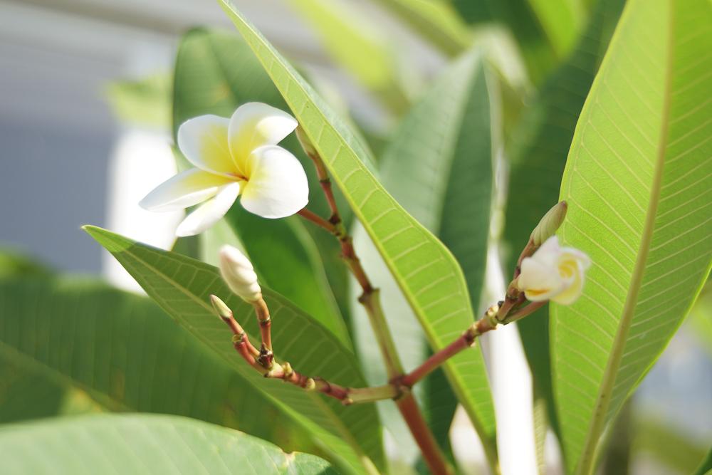 南国の花 プルメリア