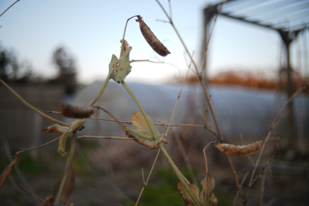 グリーンピースの採種