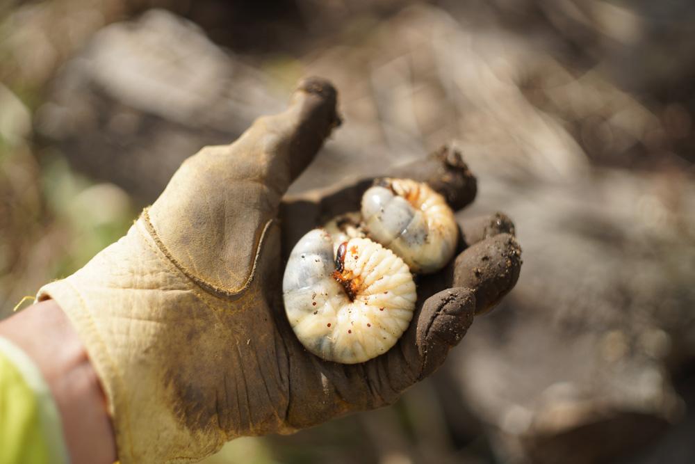 ススキの抜根をしていたら・・・カブトムシの幼虫?