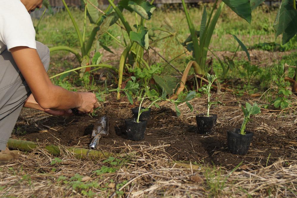 そら豆の定植