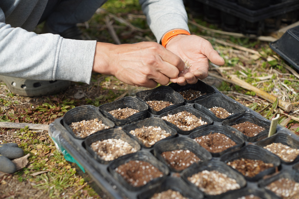 トマトの種下ろしとススキの抜根続き