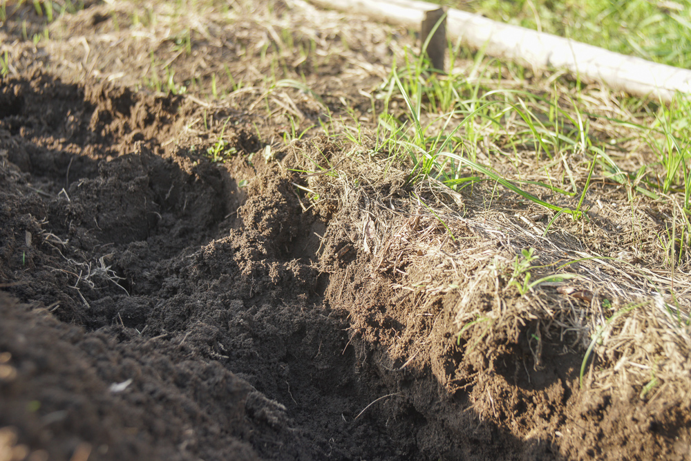小麦畑の雑草とり