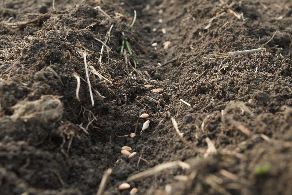 小麦の種下ろし
