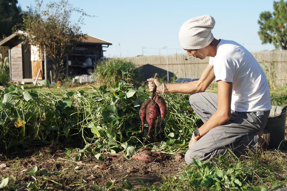 房総フィールド 秋の収穫 生姜、里芋、さつま芋