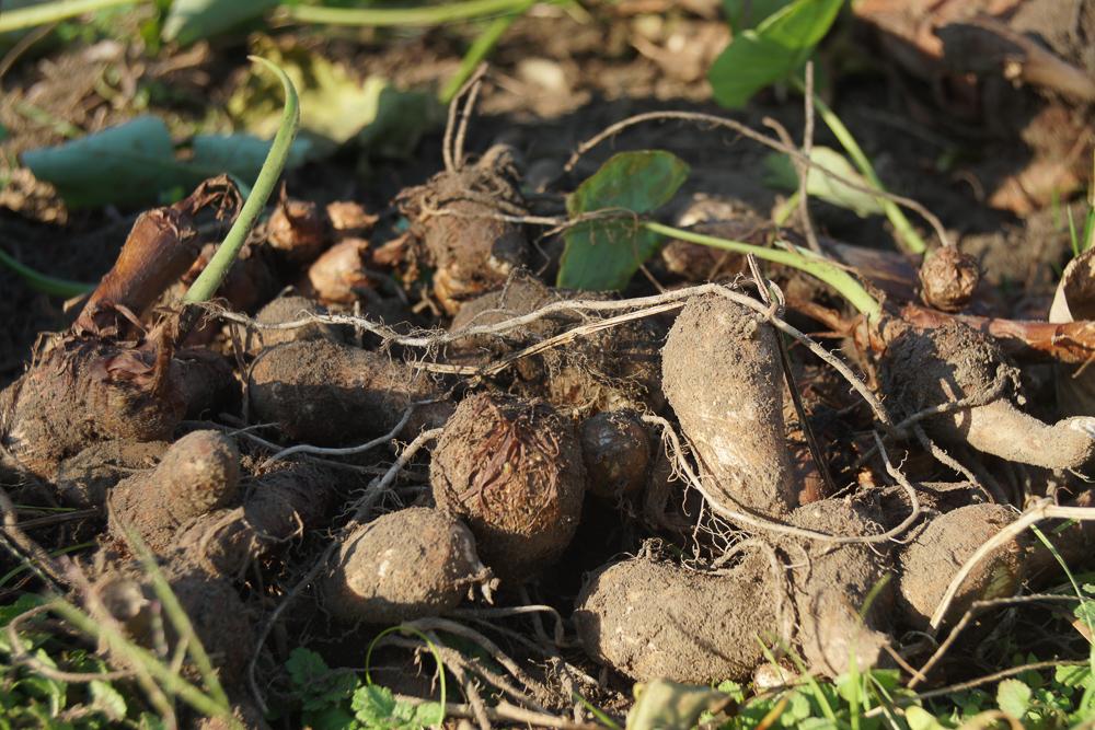 房総フィールド 里芋の収穫