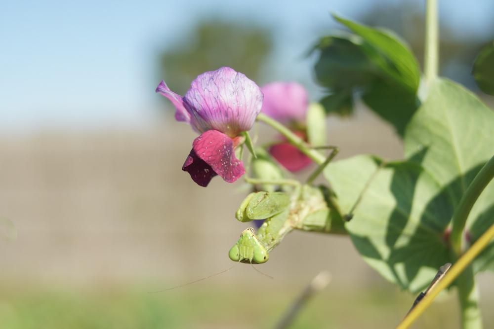 グリンピースの花とカマキリ