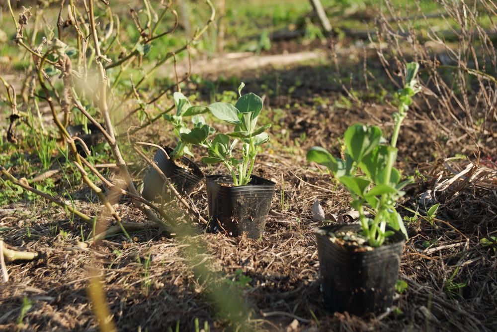 そら豆最後の苗を定植