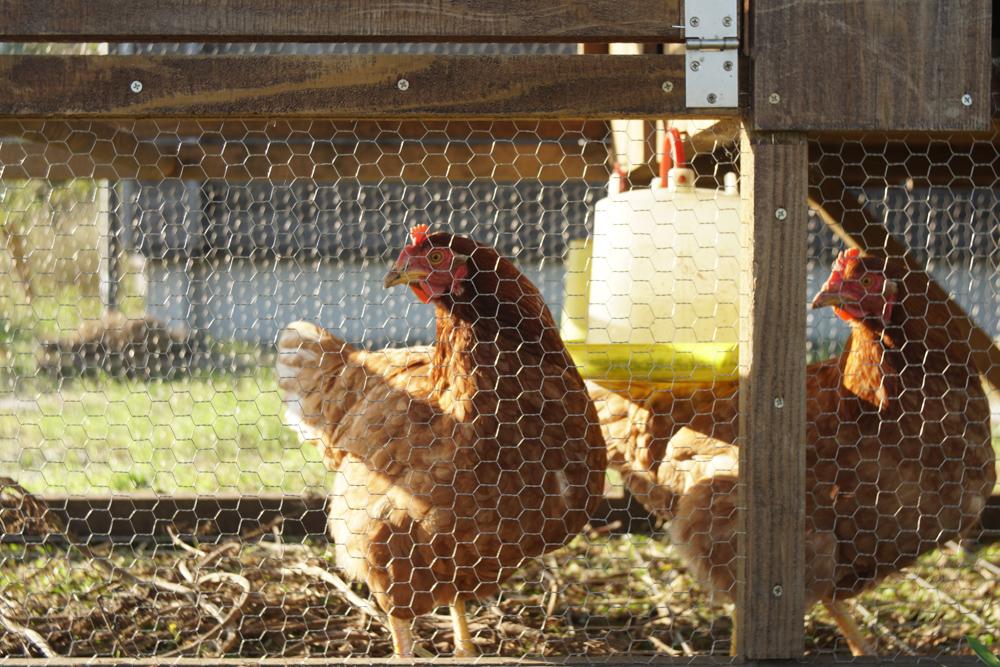お隣さんちの鶏とチキントラクター