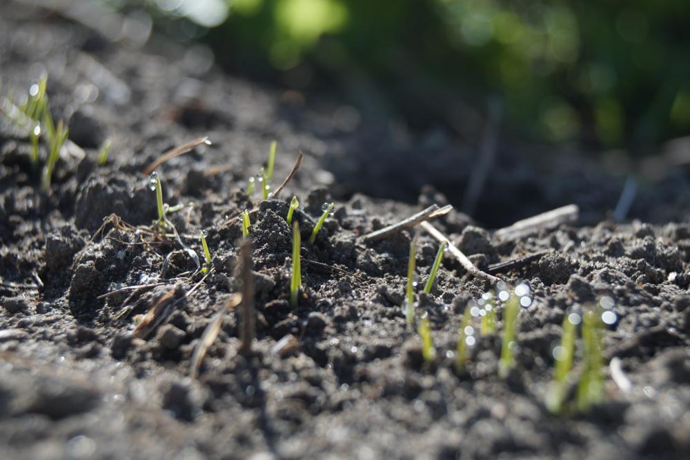 房総フィールドの朝 発芽した小麦