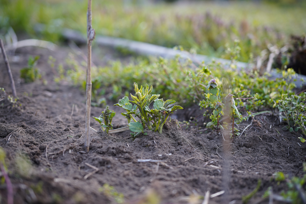 じゃがいもの芽吹きとスイバの草刈りとムクドリと