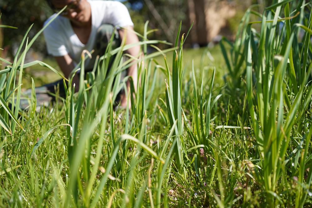 にんにく畑の雑草刈り