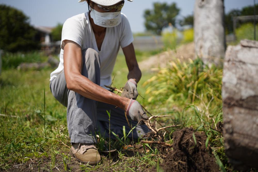 生姜区画の雑草とりと里芋第2区画開墾