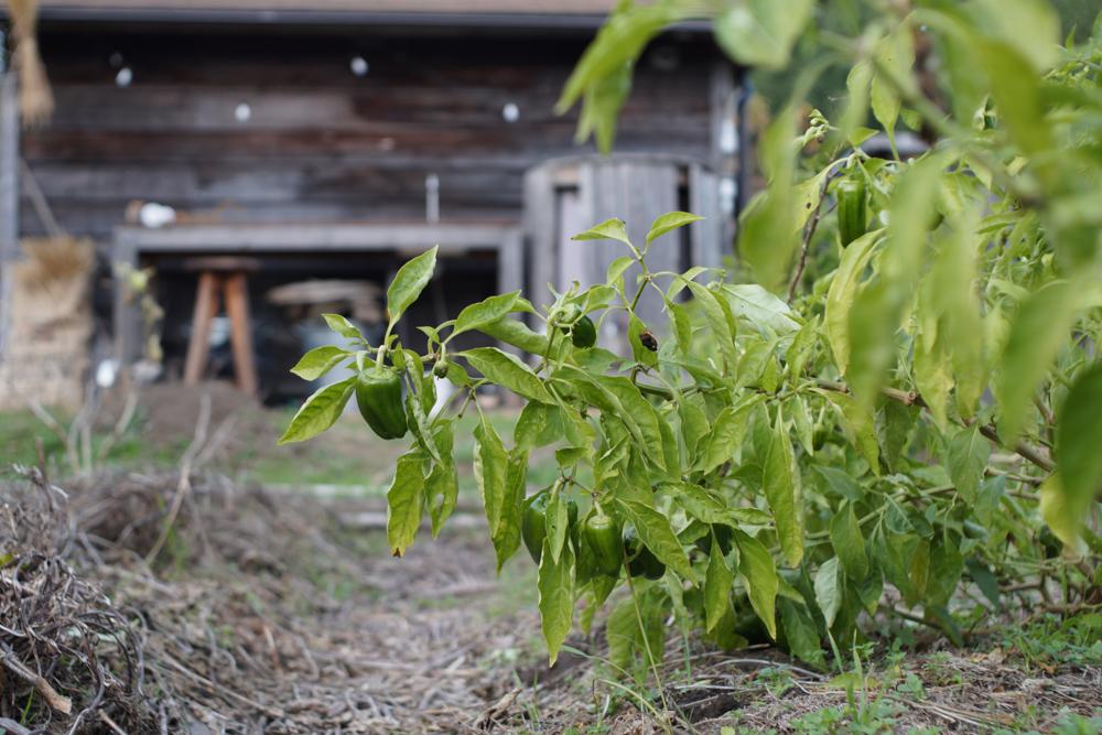 2020年最後の定植 そら豆の苗を植える
