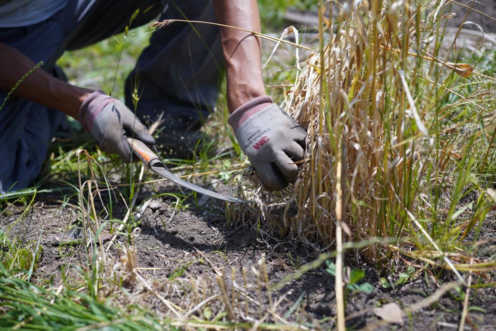 小麦の収穫 2020