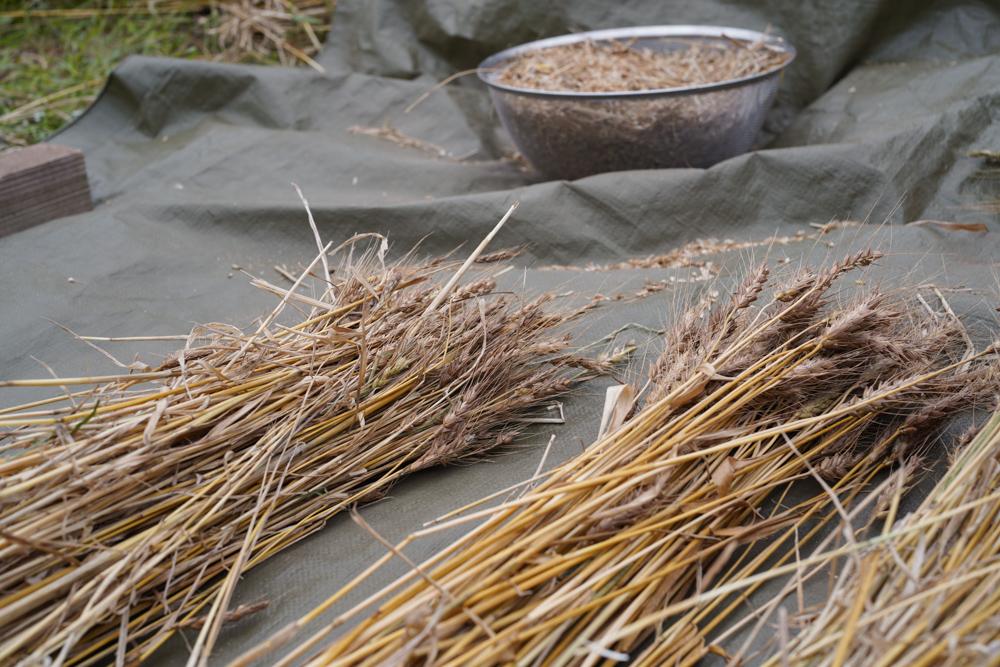 小麦の脱穀 2020 DAY1