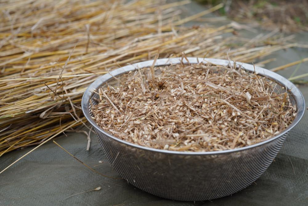 小麦の脱穀 2020 DAY1小麦の脱穀 2020 DAY2 扇風機を使った唐箕(とうみ)もどきで籾殻と実を分離