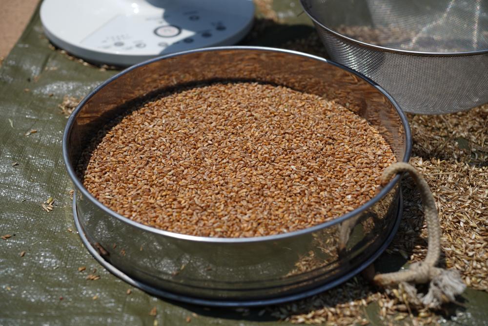 小麦の脱穀 2020 DAY2 扇風機を使った唐箕(とうみ)もどきで籾殻と実を分離