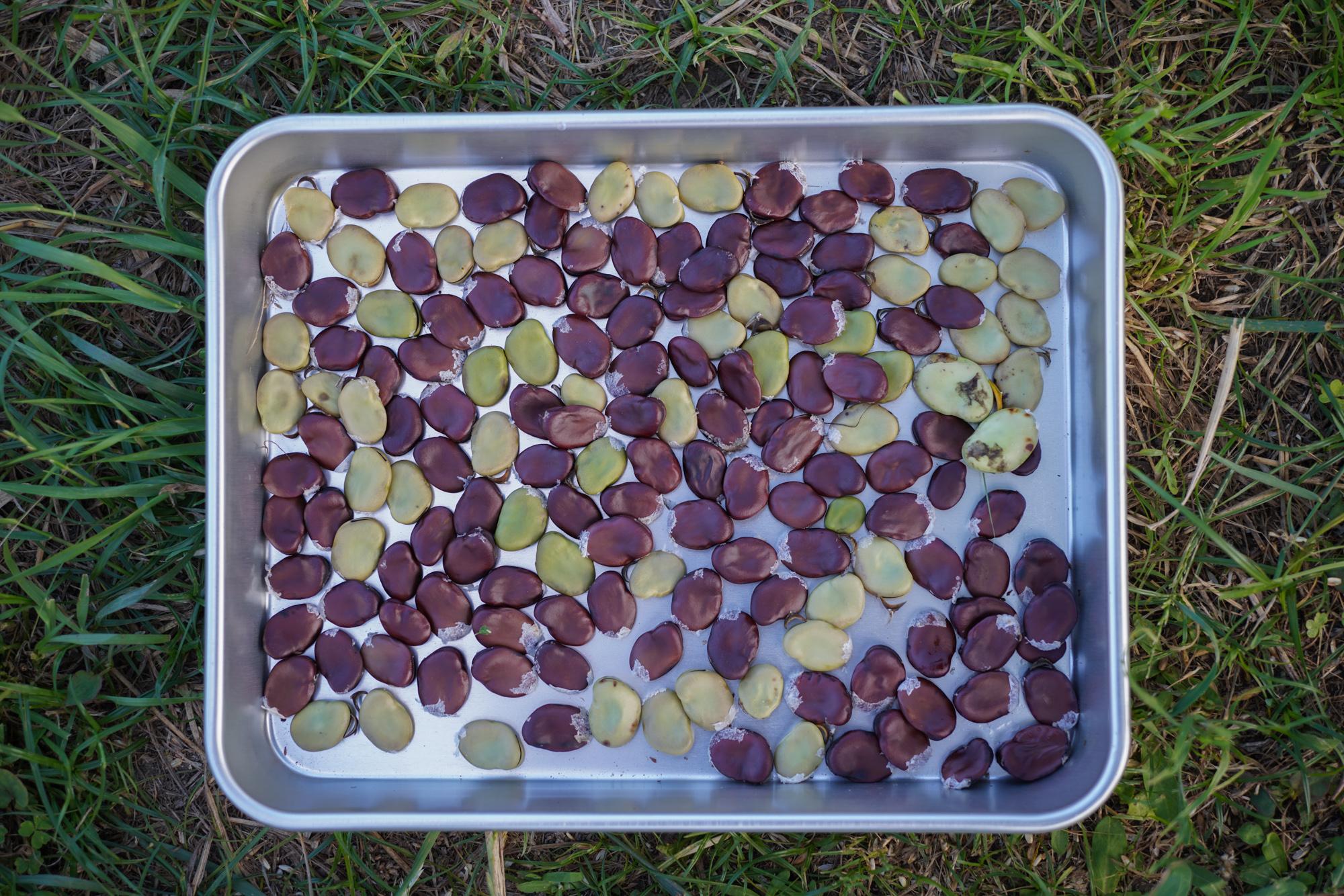 小麦畑にトマトを定植、サツマイモの苗植え付け、そら豆の採種