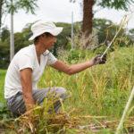 ニンニクの収穫と梅雨入り前の種下ろし